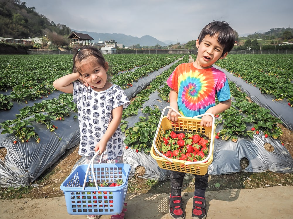 Picking strawberries in Dahu, Taiwan