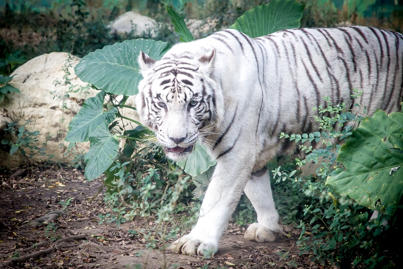 White tiger at Leofoo Village, Taiwan