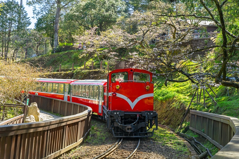 Seeing cherry blossoms at Alishan, with the Alishan Railway going by